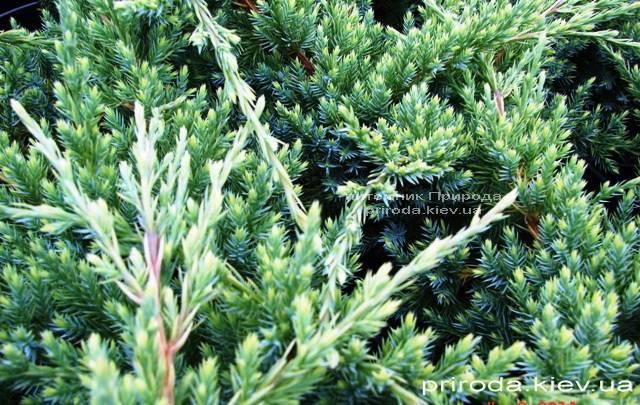 Можжевельник чешуйчатый Холгер (Juniperus squamata Holger) ФОТО Питомник декоративных растений Природа (Priroda)