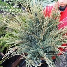 Можжевельник чешуйчатый Холгер / Juniperus squamata Holger ФОТО Питомник декоративных растений Природа Priroda