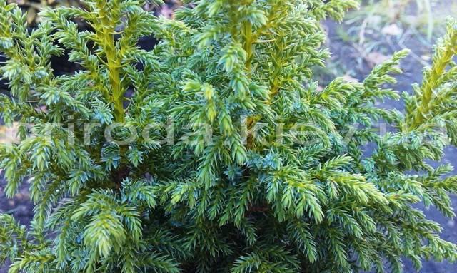 Можжевельник чешуйчатый Лодери (Juniperus squamata Loderi) ФОТО Питомник декоративных растений Природа (Priroda)
