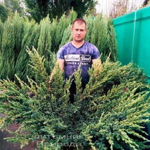 Можжевельник чешуйчатый Мейери (Juniperus squamata Meyeri) ФОТО Питомник растений Природа Priroda (10)