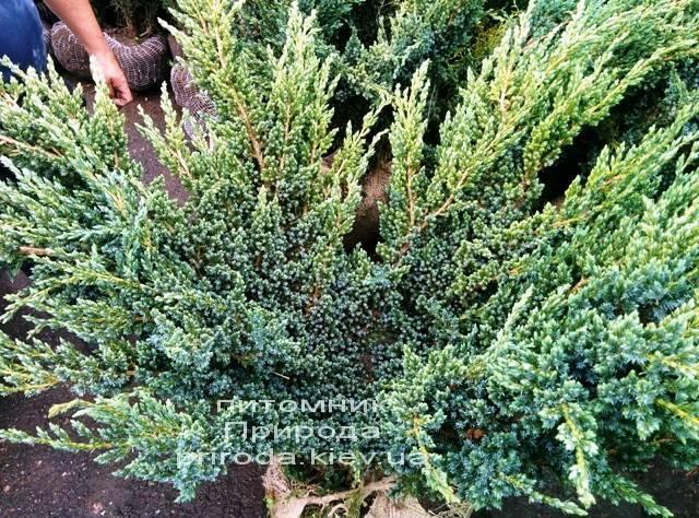 Можжевельник чешуйчатый Мейери (Juniperus squamata Meyeri) ФОТО Питомник растений Природа Priroda (9)
