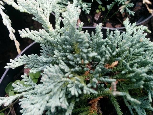 Можжевельник горизонтальный Айс Блю / Монбер (Juniperus horizontalis Ice Blue / Monber) ФОТО Питомник декоративных растений Природа Priroda (79)