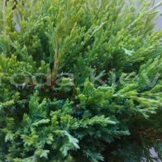 Можжевельник горизонтальный Андорра Компакт (Juniperus horizontalis Andorra Compact) ФОТО Питомник декоративных растений Природа