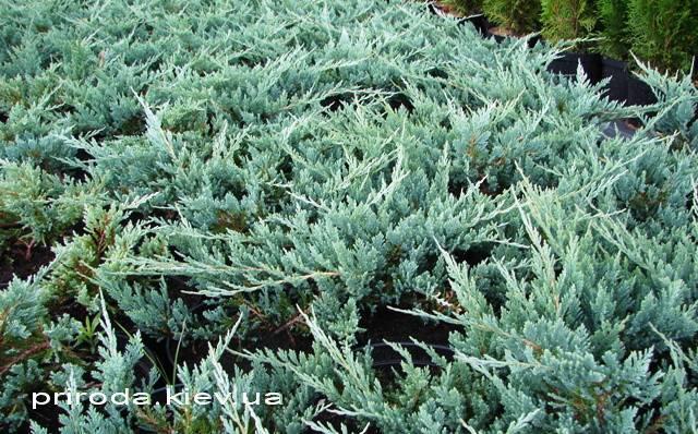 Можжевельник горизонтальный Блю Чип / Блу Чип (Juniperus horizontalis Blue Chiр) ФОТО Питомник декоративных растений Природа