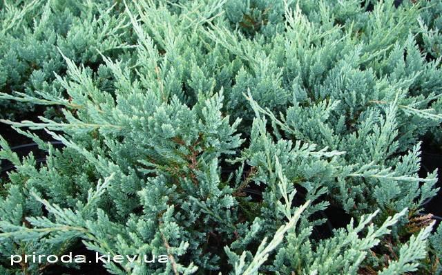 Можжевельник горизонтальный Блю Чип / Блу Чип (Juniperus horizontalis Blue Chiр) ФОТО Питомник декоративных растений Природа Priroda