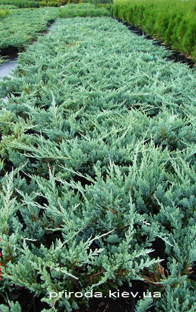 Ялівець горизонтальний Блю Чіп / Блу Чіп (Juniperus horizontalis Blue Chiр) ФОТО Розплідник рослин Природа Priroda