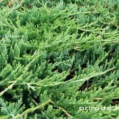 Можжевельник горизонтальный Джейд Ривер (Juniperus horizontalis Jade River) ФОТО Питомник декоративных растений Природа Priroda