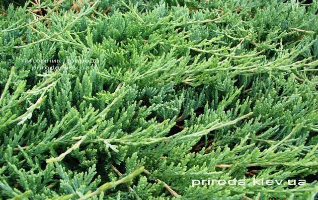 Можжевельник горизонтальный Джейд Ривер (Juniperus horizontalis Jade River) ФОТО Питомник декоративных растений Природа Priroda (69)