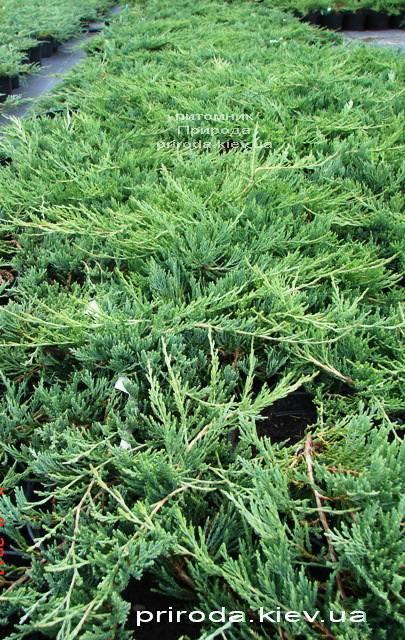 Можжевельник горизонтальный Джейд Ривер (Juniperus horizontalis Jade River) ФОТО Питомник растений Природа Priroda
