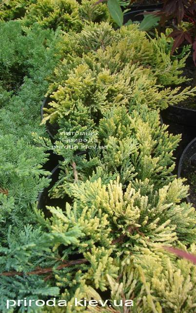 Можжевельник горизонтальный Голден Карпет (Juniperus horizontalis Golden Carpet) ФОТО Питомник декоративных растений Природа