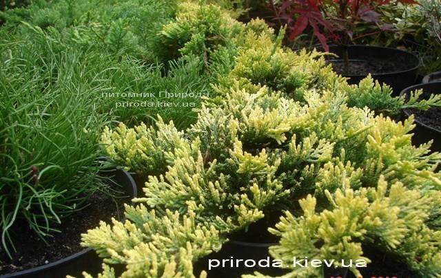 Можжевельник горизонтальный Голден Карпет (Juniperus horizontalis Golden Carpet) ФОТО Питомник декоративных растений Природа Priroda