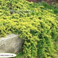Можжевельник горизонтальный Голден Карпет (Juniperus horizontalis Golden Carpet) ФОТО Питомник растений Природа Priroda