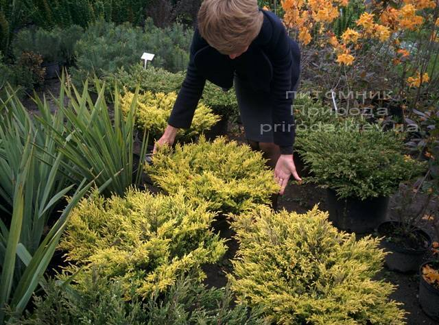 Можжевельник горизонтальный Лаймглоу (Juniperus horizontalis Limeglow) ФОТО Питомник растений Природа Priroda