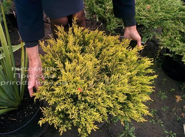 Можжевельник горизонтальный Лаймглоу (Juniperus horizontalis Limeglow) ФОТО Питомник декоративных растений Природа