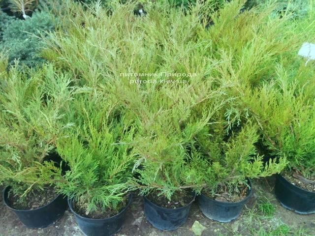 Можжевельник казацкий Блю Спаркл (Juniperus sabina Blue Sparkle) 50-70см Питомник декоративных растений Природа Priroda