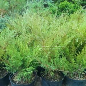 Можжевельник казацкий Блю Спаркл (Juniperus sabina Blue Sparkle)ФОТО Питомник растений Природа Priroda