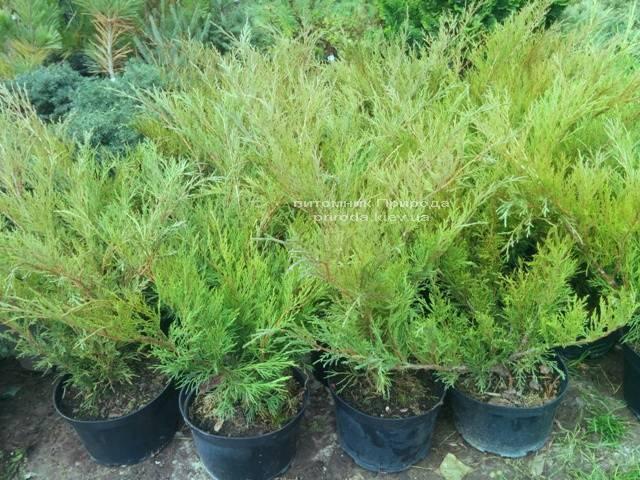 Можжевельник казацкий Блю Спаркл (Juniperus sabina Blue Sparkle) ФОТО Питомник декоративных растений Природа (51)
