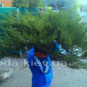 Можжевельник казацкий (Juniperus sabina) ФОТО Питомник декоративных растений Природа