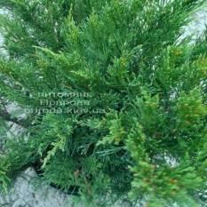 Можжевельник казацкий Блю Данау / Блю Дануб (Juniperus sabina Blaue Donau / Blue Danube) ФОТО Питомник растений Природа/Priroda