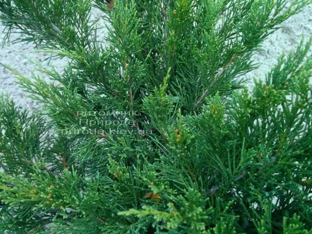 Можжевельник казацкий Блю Данау / Блю Дануб (Juniperus sabina Blaue Donau / Blue Danube) 60-80см Питомник декоративных растений Природа