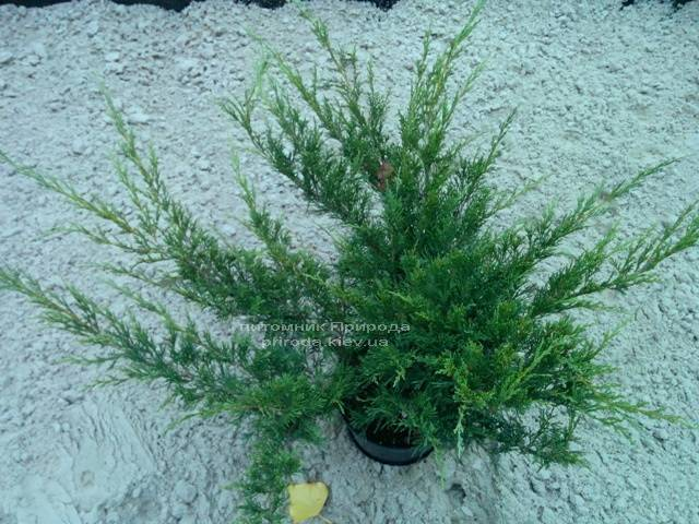 Можжевельник казацкий Блю Данау / Блю Дануб (Juniperus sabina Blaue Donau / Blue Danube) 60-80см Питомник растений Природа Priroda