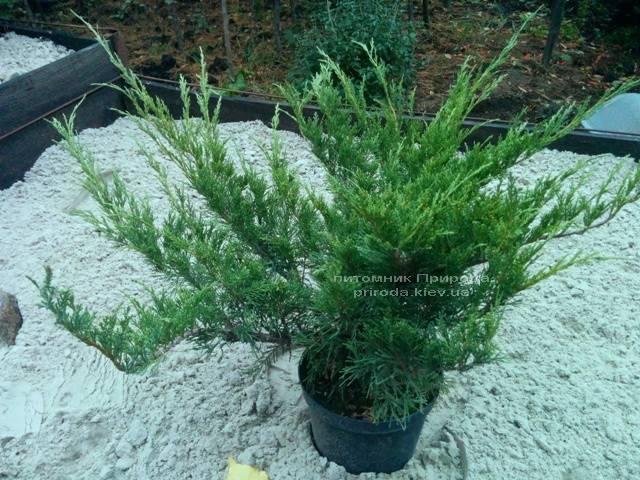 Можжевельник казацкий Блю Данау / Блю Дануб (Juniperus sabina Blaue Donau / Blue Danube) 60-80см Питомник декоративных растений Природа Priroda