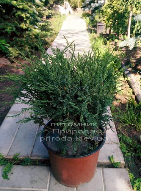 Можжевельник казацкий Глаука (Juniperus sabina Glauca) ФОТО Питомник декоративных растений Природа (Priroda)