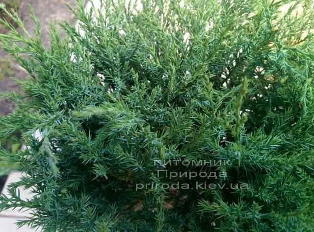 Можжевельник казацкий Глаука (Juniperus sabina Glauca) ФОТО Питомник растений Природа