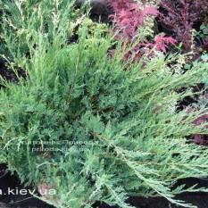 Можжевельник казацкий Глаука (Juniperus sabina Glauca) ФОТО Питомник декоративных растений Природа
