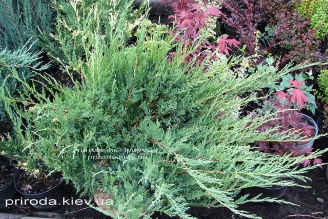 Можжевельник казацкий Глаука (Juniperus sabina Glauca) ФОТО Питомник декоративных растений (Природа)