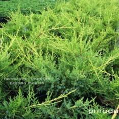Можжевельник китайский Куривао Голд (Juniperus chinensis Kuriwao Gold) ФОТО Питомник декоративных растений Природа