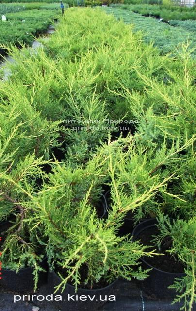 Можжевельник китайский Куривао Голд (Juniperus chinensis Kuriwao Gold) ФОТО Питомник растений Природа Priroda