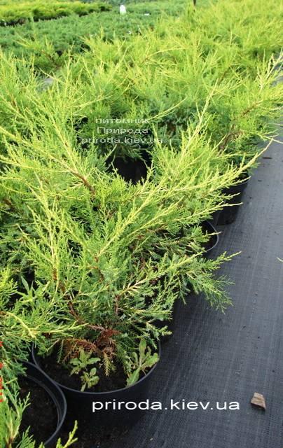 Можжевельник китайский Куривао Голд (Juniperus chinensis Kuriwao Gold) ФОТО Питомник декоративных растений Природа Priroda