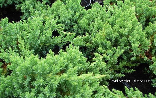 Можжевельник лежачий Нана (Juniperus procumbens Nana) ФОТО Питомник декоративных растений Природа Priroda