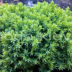 Можжевельник лежачий Нана (Juniperus procumbens Nana) ФОТО Питомник растений Природа Priroda (60)