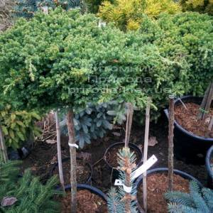Можжевельник лежачий Нана (Juniperus procumbens Nana) на штамбе ФОТО Питомник декоративных растений Природа Priroda (59)