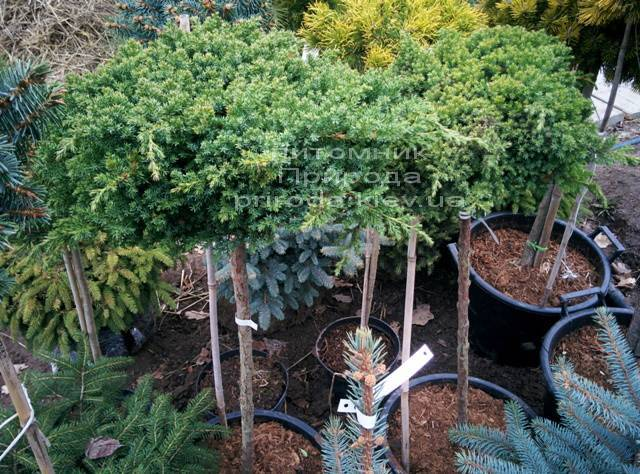 Можжевельник лежачий Нана (Juniperus procumbens Nana) на штамбе ФОТО Питомник декоративных растений Природа Priroda