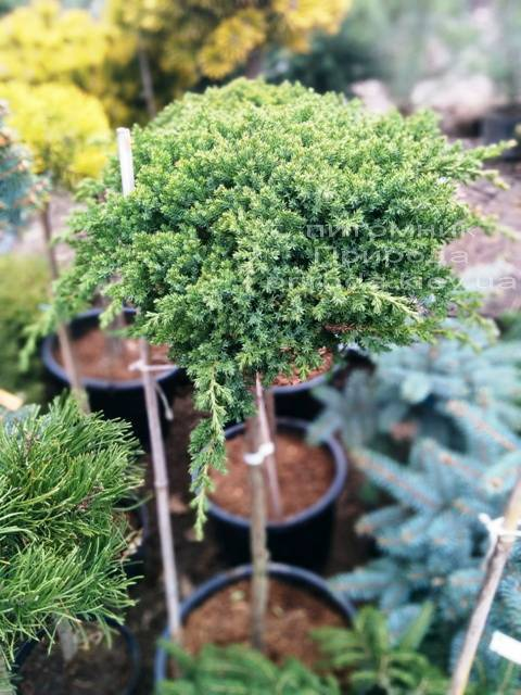 Можжевельник лежачий Нана (Juniperus procumbens Nana) на штамбе ФОТО Питомник растений Природа Priroda