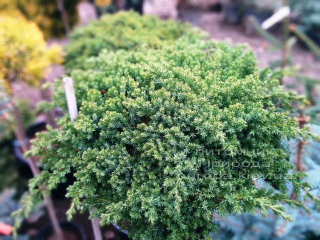 Можжевельник лежачий Нана (Juniperus procumbens Nana) на штамбе ФОТО Питомник декоративных растений Природа