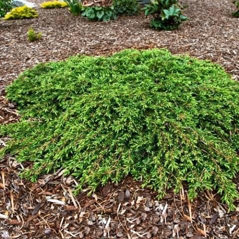 Можжевельник обыкновенный Кориелаган (Juniperus communis Corielagan) ФОТО Питомник декоративных растений Природа Priroda (63)