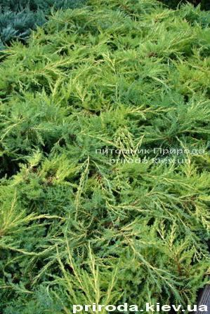 Можжевельник средний Пфитцериана Ауреа (Juniperus media Pfitzeriana Aurea) ФОТО Питомник декоративных растений Природа Priroda