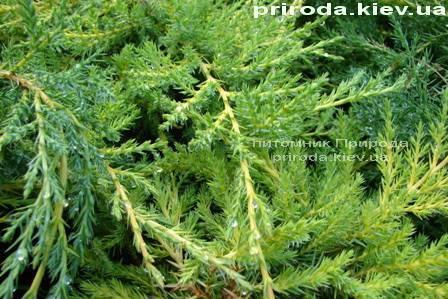 Можжевельник средний Пфитцериана Ауреа (Juniperus media Pfitzeriana Aurea) ФОТО Питомник растений Природа Priroda