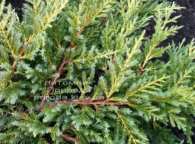Можжевельник средний Пфитцериана Ауреа (Juniperus media Pfitzeriana Aurea) ФОТО Питомник растений Природа Priroda (34)