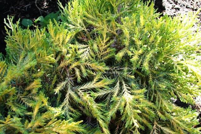 Можжевельник средний Голд Киссен (Juniperus media Goldkissen) ФОТО Питомник растений Природа (Priroda)