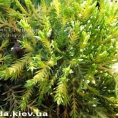 Можжевельник средний Голд Киссен (Juniperus media Goldkissen) ФОТО Питомник растений Природа (Priroda) (15)