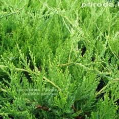 Можжевельник средний / пфитцериана Минт Джулеп (Juniperus media / pfitzeriana Mint Julep) ФОТО Питомник растений Природа (Priroda) (22)