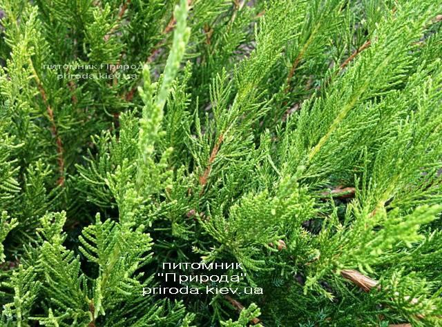 Можжевельник средний / пфитцериана Минт Джулеп (Juniperus media / pfitzeriana Mint Julep) ФОТО Питомник растений Природа (Priroda)