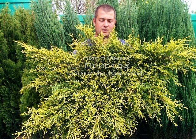 Можжевельник средний / пфитцериана Олд Голд (Juniperus media / pfitzeriana Old Gold) ФОТО Питомник растений Природа (Priroda) (23)