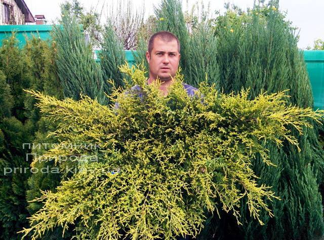 Можжевельник средний / пфитцериана Олд Голд (Juniperus media / pfitzeriana Old Gold) ФОТО Питомник растений Природа (Priroda) (24)