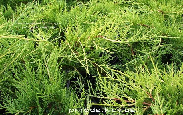 Можжевельник средний / пфитцериана Олд Голд (Juniperus media / pfitzeriana Old Gold) ФОТО Питомник растений Природа (Priroda)